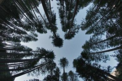 Gli alti pini dello Yosemite